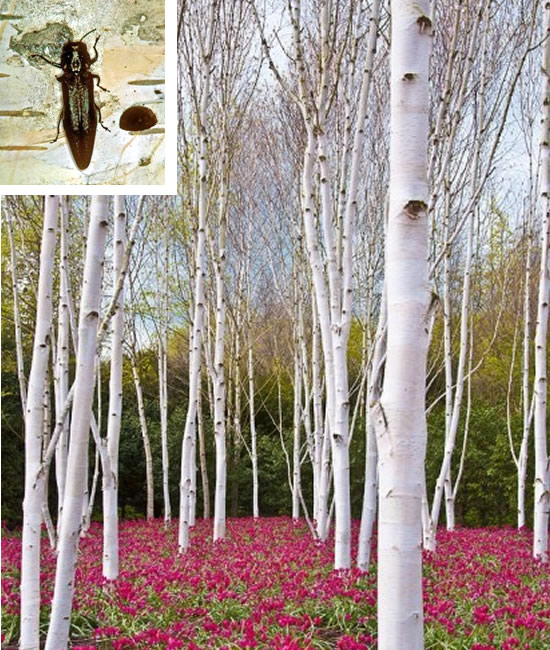 Birch Spraying - White birch trees - Bronze birch borer