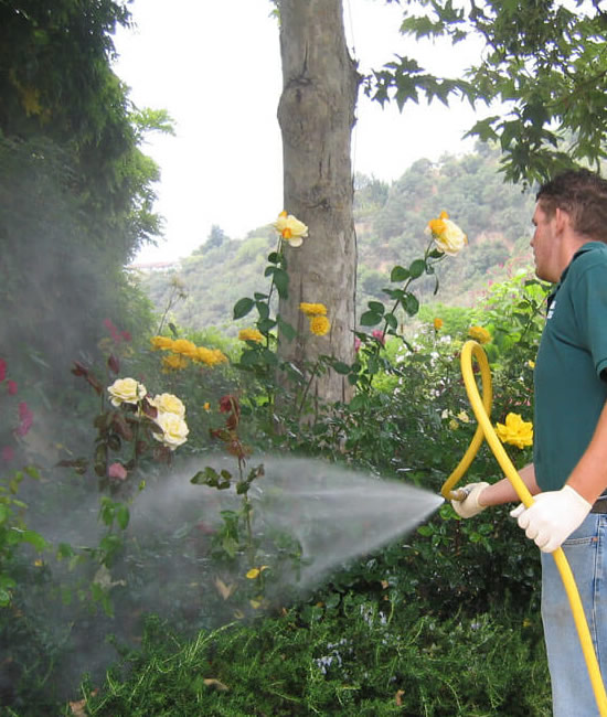 Horticultural Oil Spraying, hrubs, ornamentals and evergreens - Connecticut