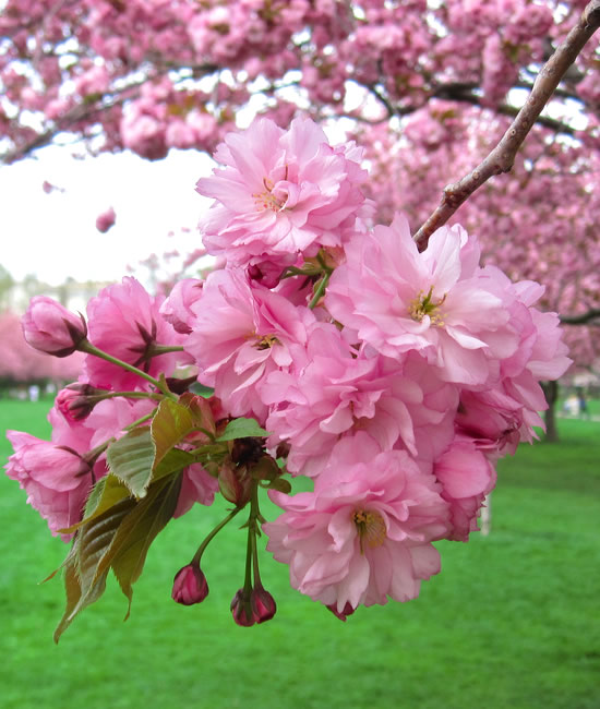 Ornamental Tree Spraying - crabapples, cherries, apples, plums, magnolias and dogwoods - Connecticut